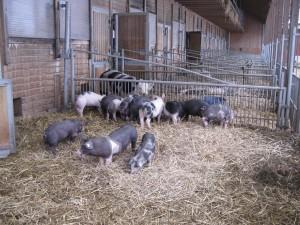IMG_4Herrmannsdorfer Schweine 1